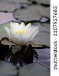 white nymphaea  nymphaea alba l.... | Shutterstock . vector #1107927683