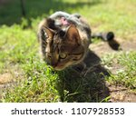 outdoor close up tabby cat with ... | Shutterstock . vector #1107928553