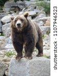 Small photo of Kodiak bear on a rock
