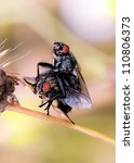 Flies Reproduction Sarcophaga...