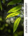 green leaves call cheria...   Shutterstock . vector #1108090397