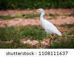 a single cattle egret strutting ... | Shutterstock . vector #1108111637