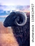 Small photo of black sheep with big horns