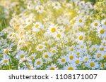 beautiful white daisy flowers... | Shutterstock . vector #1108171007
