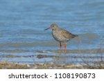 common redshank  tringa totanus ... | Shutterstock . vector #1108190873