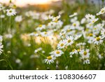 chamomile flowers field wide...   Shutterstock . vector #1108306607