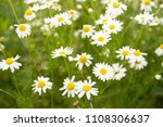 beautiful field with white...   Shutterstock . vector #1108306637