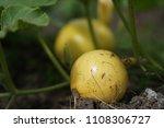 yellow macro spider with eight...   Shutterstock . vector #1108306727
