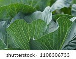 close up on fresh cabbage in...   Shutterstock . vector #1108306733