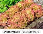 lollo rosso lettuce growing in...   Shutterstock . vector #1108396073