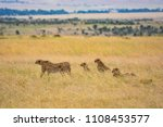 Cheetah Family Hunting Kenya