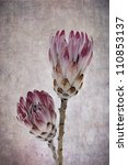 Heads Of Two Pink Ice Protea...