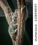 koala sleeping on eucalyptus... | Shutterstock . vector #1108598597