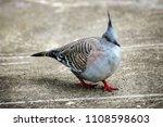 australian crested pigeon. | Shutterstock . vector #1108598603