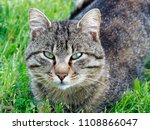 portrait gray cat in the grass | Shutterstock . vector #1108866047