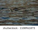 dolphins swimming in atlantic... | Shutterstock . vector #1108961873