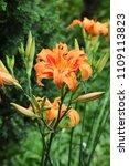 Orange Tawny Daylily Bloom...