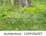 spring little flowers of blue... | Shutterstock . vector #1109156207