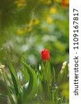 tulips on the flowerbed in... | Shutterstock . vector #1109167817