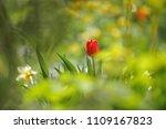tulips on the flowerbed in... | Shutterstock . vector #1109167823