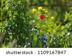 tulips on the flowerbed in... | Shutterstock . vector #1109167847