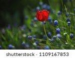 tulips on the flowerbed in... | Shutterstock . vector #1109167853