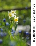 narcissus on the flowerbed in... | Shutterstock . vector #1109168423