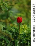 red tulips on the flowerbed in... | Shutterstock . vector #1109168687