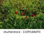 red tulips on the flowerbed in... | Shutterstock . vector #1109168693