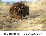 echidnas sometimes known as... | Shutterstock . vector #1109237177