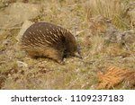 echidnas sometimes known as... | Shutterstock . vector #1109237183