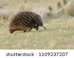 echidnas sometimes known as... | Shutterstock . vector #1109237207