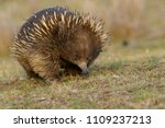 echidnas sometimes known as... | Shutterstock . vector #1109237213