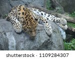 amur leopard on a rock | Shutterstock . vector #1109284307