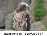 red tail hawk | Shutterstock . vector #1109291687