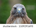 red tail hawk | Shutterstock . vector #1109291693