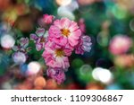 blooming roses and buds on a...   Shutterstock . vector #1109306867