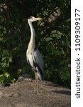 grey heron  ardea cinerea       ... | Shutterstock . vector #1109309177