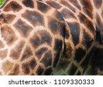 the giraffe skin  giraffa...   Shutterstock . vector #1109330333