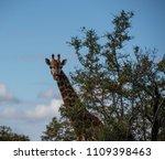 giraffe or giraffa  looking out ...   Shutterstock . vector #1109398463