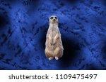 Meerkats And Blue