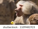 baboons in the wild | Shutterstock . vector #1109481923