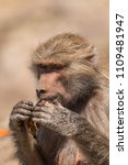 baboons in the wild | Shutterstock . vector #1109481947