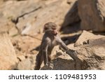 baboons in the wild | Shutterstock . vector #1109481953