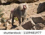 baboons in the wild | Shutterstock . vector #1109481977