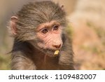 baboons in the wild | Shutterstock . vector #1109482007