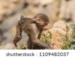 baboons in the wild | Shutterstock . vector #1109482037