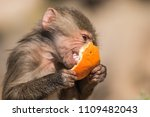 baboons in the wild | Shutterstock . vector #1109482043