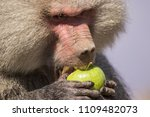 baboons in the wild | Shutterstock . vector #1109482073