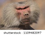 baboons in the wild | Shutterstock . vector #1109482097